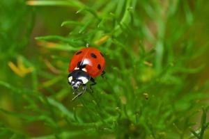 coccinella sull'erba verde