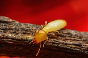 macro di termite