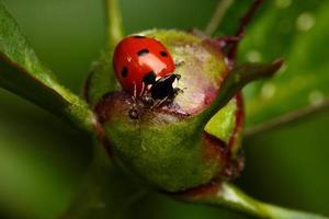 coccinella attacco formica sul bocciolo di fiore foto