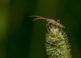 scarabeo soldato