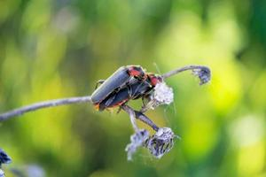 accoppiamento scarabeo soldato foto