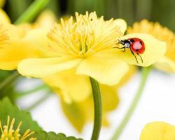 coccinella sul fiore giallo foto