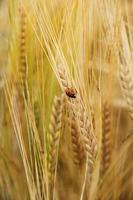 coccinella su spighe di grano verso il basso foto