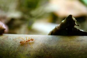 piccolo mondo di formica (macro, ambiente di messa a fuoco selettiva su sfondo foglia) foto