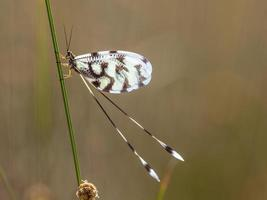 insetto nemoptera leone formica foto