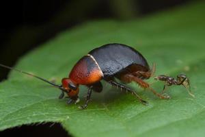 scarafaggio con formica su foglia verde