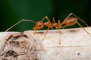 formica rossa chiusa sull'albero foto