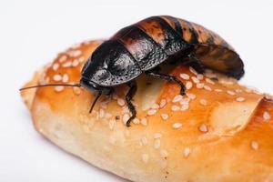 scarafaggio sibilante Madagascar su sfondo bianco foto