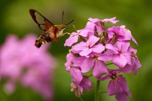 falena colibrì foto