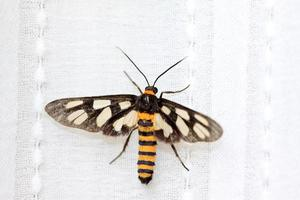 insetti falena foto