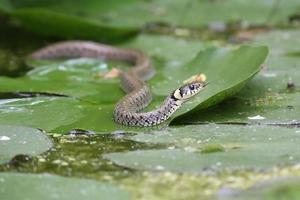 serpente ad anello foto