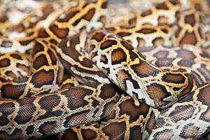 pelle di serpente foto