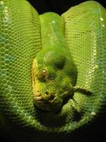 serpente verde foto