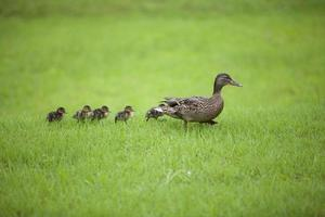 anatra, famiglia di animali foto