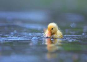 un piccolo anatroccolo giallo che nuota in acqua foto