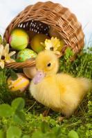 anatroccolo con uova di Pasqua foto