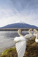 cigno sul lago yamanaka foto