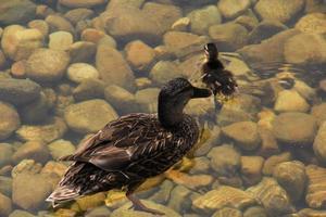 mamma anatra e pulcino sull'acqua foto