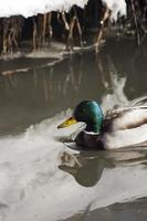 anatra maschio del germano reale che nuota foto