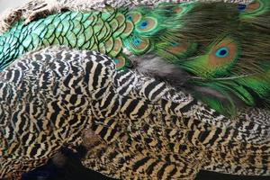 bella piuma di pavone - sfondo di eleganza - orgoglio degli uccelli foto