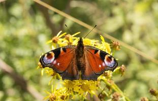 farfalla di pavone (inachis io) su una pianta margherita