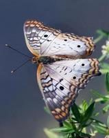 farfalla di pavone bianca foto