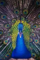 bellissimo pavone con piume fuori foto
