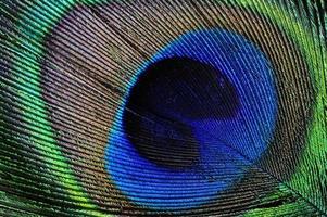 dettaglio piuma di pavone