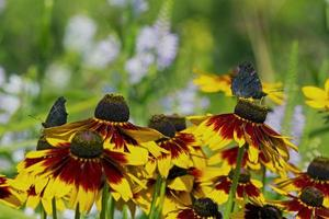 fiori di rudbeckia e farfalla che bevono nettare dalla peta arancio