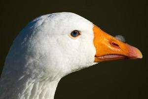 anatra bianca foto