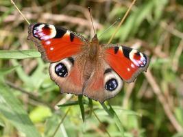 farfalla di pavone 01 foto
