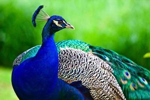 bellissima foto di un regale pavone maschio