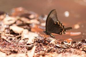 lato della farfalla di pavone di Parigi