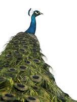 vista posteriore di un pavone, guardando lontano. foto