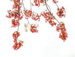 sfondo fiore flam-boyant