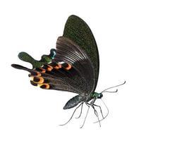 farfalla isolata del pavone di Parigi che succhia alimento