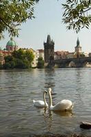 cigno a Praga.