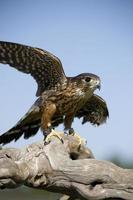falco di Merlino