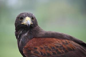 fantastico rapace falco marrone