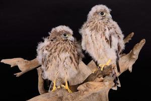 falco giovane pulcino foto
