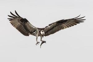 falco pescatore che vola con un pesce