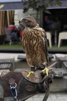 Astore settentrionale - Accipiter gentilis foto