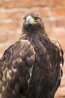 pericoloso predatore nello spettacolo di falconeria foto