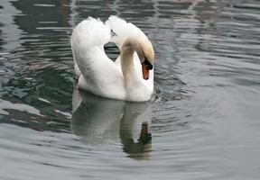 cigno bianco foto