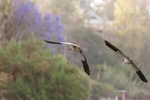 oca egiziana a metà volo foto