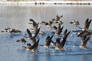 oche del Canada che prendono al volo da un lago d'inverno foto