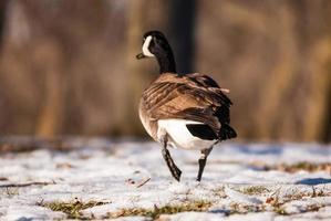 singola oca canadese che cammina via sul terreno ghiacciato foto
