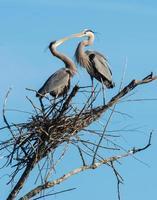 grandi aironi blu che toccano le bollette sul loro nido foto