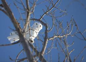 civetta delle nevi nell'albero foto