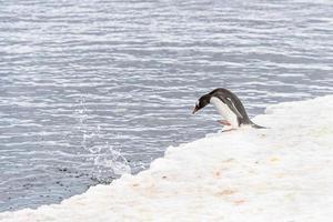 pinguini dell'Antartide